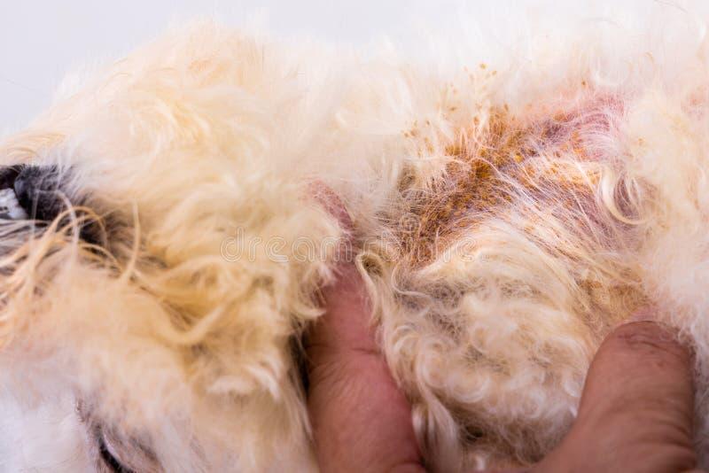 Κτηνίατρος που εξετάζει το δέρμα σωμάτων σκυλιών με την κακή μυκητιακή μόλυνση ζύμης στοκ εικόνα με δικαίωμα ελεύθερης χρήσης