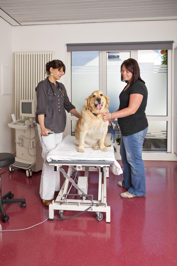 Κτηνίατρος που προετοιμάζεται για την υπερηχητική εξέταση στοκ εικόνα με δικαίωμα ελεύθερης χρήσης