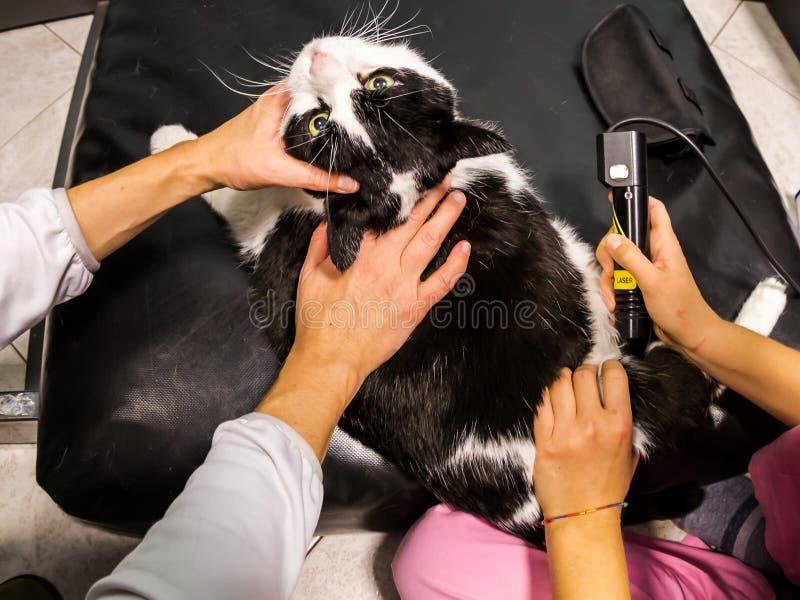 Κτηνιατρική θεραπεία λέιζερ στοκ φωτογραφίες με δικαίωμα ελεύθερης χρήσης
