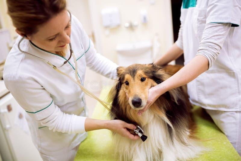 Κτηνιατρικός εξετάζοντας κτύπος της καρδιάς σκυλιών ` s στοκ φωτογραφία