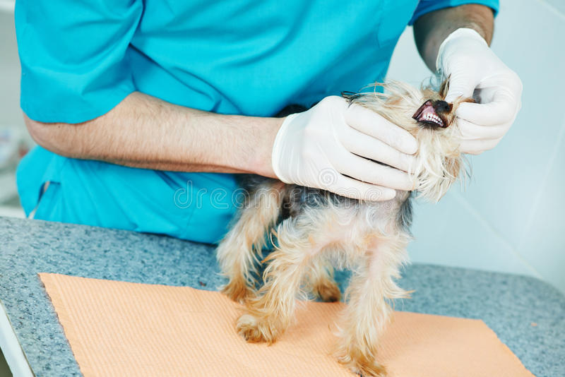 Κτηνιατρικός χειρούργος που εξετάζει τα δόντια σκυλιών στοκ εικόνες με δικαίωμα ελεύθερης χρήσης