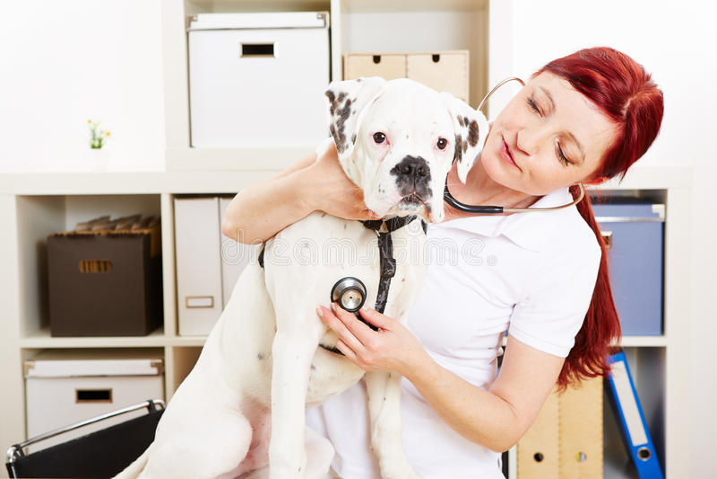 Κτηνιατρικό auscultating σκυλί στοκ εικόνα με δικαίωμα ελεύθερης χρήσης
