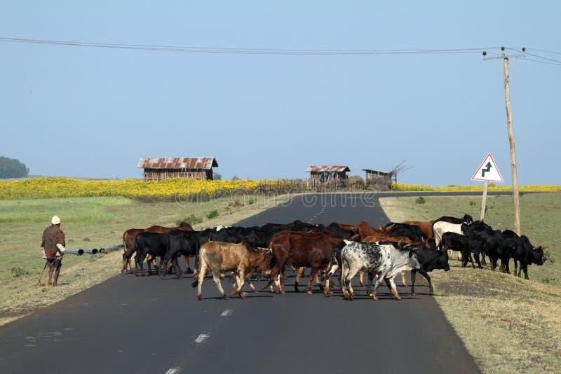 Κτηνοτρόφοι βοοειδών με το κοπάδι βοοειδών του στην Αιθιοπία στοκ φωτογραφία