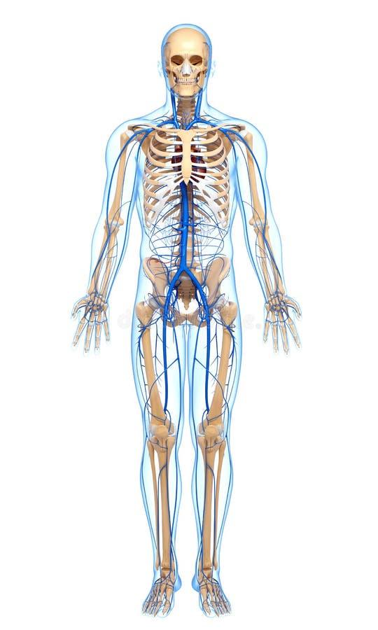 Κυκλοφοριακό σύστημα του αρσενικού σώματος με τις οδηγίες των φλεβών διανυσματική απεικόνιση