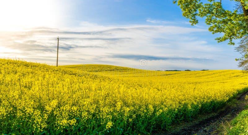 Κυλώντας κίτρινος τομέας συναπόσπορων στην ηλιοφάνεια άνοιξη πρωινού στοκ εικόνες