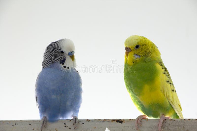 Κυματιστοί παπαγάλοι φιλιών Τα μικρά πουλιά άγγιξαν το ένα το άλλο ' ράμφη του s στοκ φωτογραφία με δικαίωμα ελεύθερης χρήσης