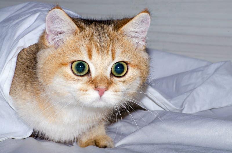 Κυνήγια γοητευτικά βρετανικά γατακιών από κάτω από ένα άσπρο φύλλο, το ένστικτο ενός αρπακτικού ζώου για ένα κατοικίδιο ζώο στοκ φωτογραφία