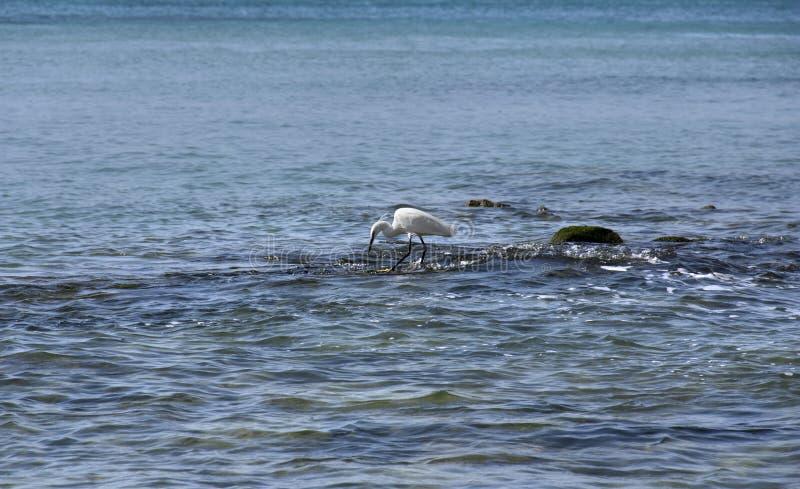 Κυνήγια ερωδιών στις πέτρες στη θάλασσα στοκ φωτογραφίες με δικαίωμα ελεύθερης χρήσης