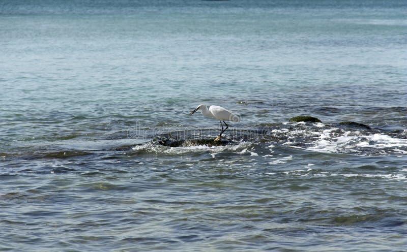 Κυνήγια ερωδιών στις πέτρες στη θάλασσα στοκ φωτογραφία