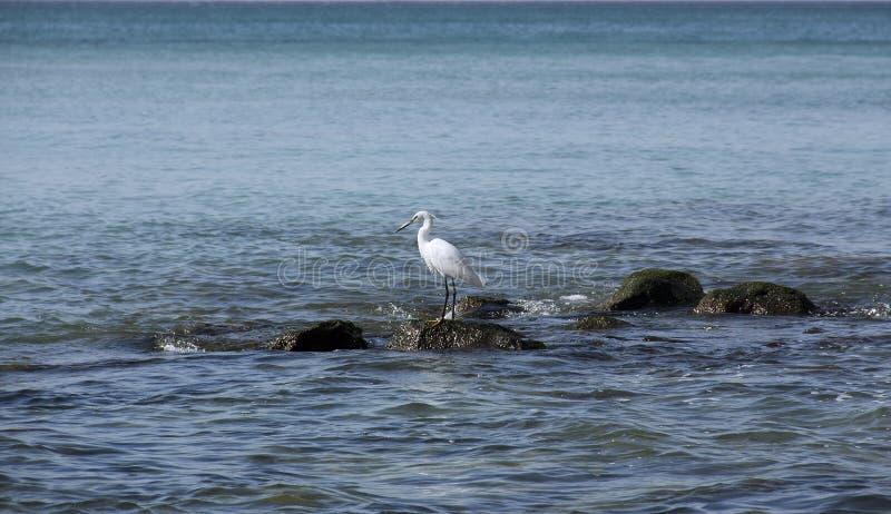 Κυνήγια ερωδιών στις πέτρες στη θάλασσα στοκ εικόνες