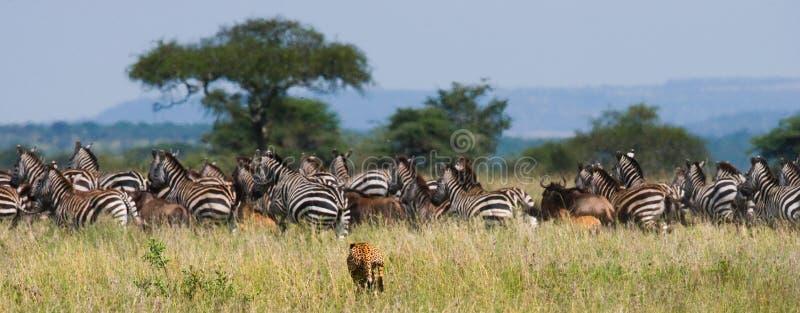 Κυνήγια τσιτάχ για ένα κοπάδι των zebras και την πιό wildebeest Κένυα Τανζανία Αφρική Εθνικό πάρκο serengeti Maasai Mara στοκ εικόνες με δικαίωμα ελεύθερης χρήσης
