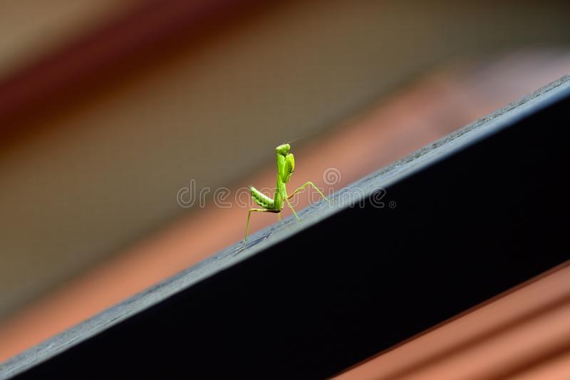 Κυνήγια Mantis σε μια κεραμωμένη στέγη στοκ εικόνα