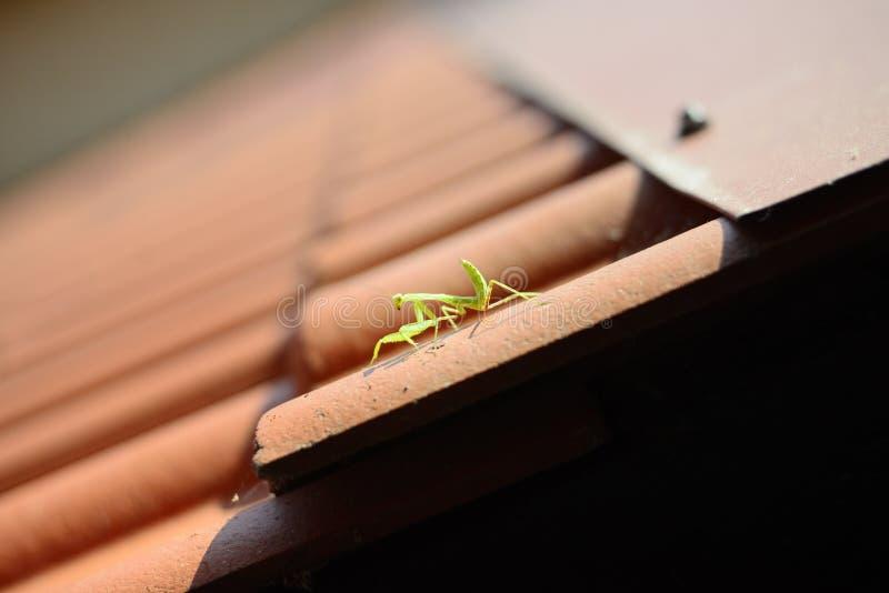 Κυνήγια Mantis σε μια κεραμωμένη στέγη στοκ εικόνες
