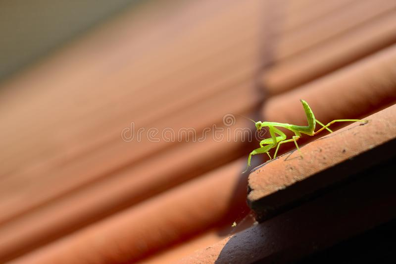 Κυνήγια Mantis σε μια κεραμωμένη στέγη στοκ φωτογραφία