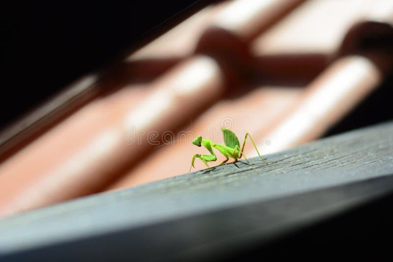 Κυνήγια Mantis σε μια κεραμωμένη στέγη στοκ φωτογραφία με δικαίωμα ελεύθερης χρήσης