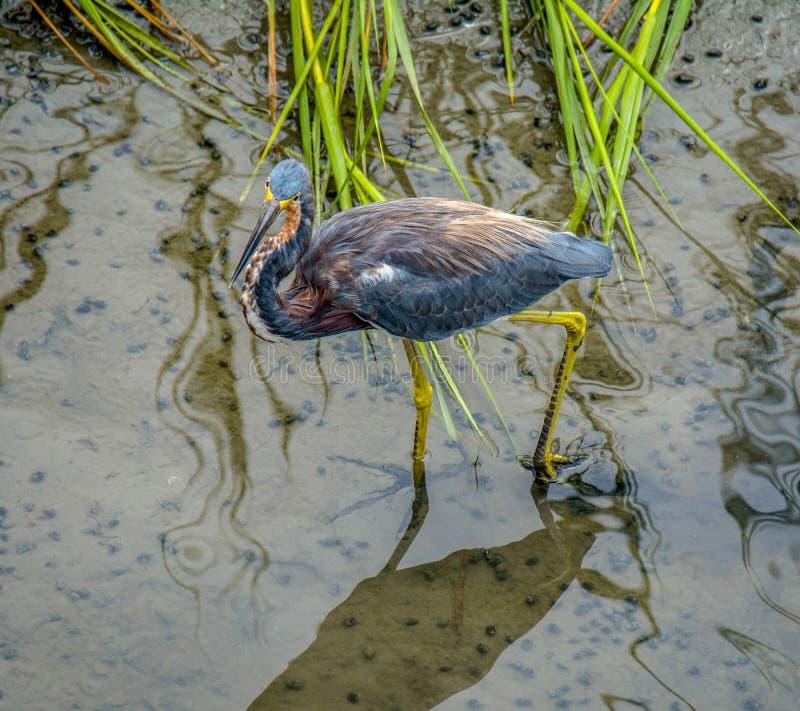 Κυνήγι ερωδιών Tricolored στοκ εικόνες με δικαίωμα ελεύθερης χρήσης