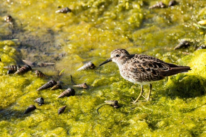 Κυνήγι πουλιών ακτών για το γεύμα στο πράσινο χαμόγελο στοκ φωτογραφία με δικαίωμα ελεύθερης χρήσης