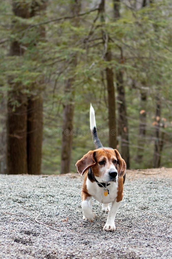 κυνήγι σκυλιών λαγωνικών στοκ εικόνες