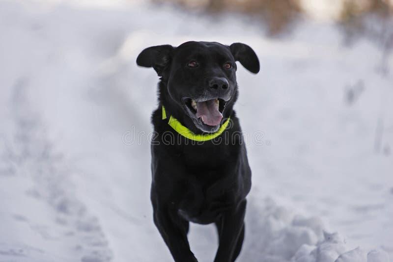 κυνήγι σκυλιών Στοκ Φωτογραφίες