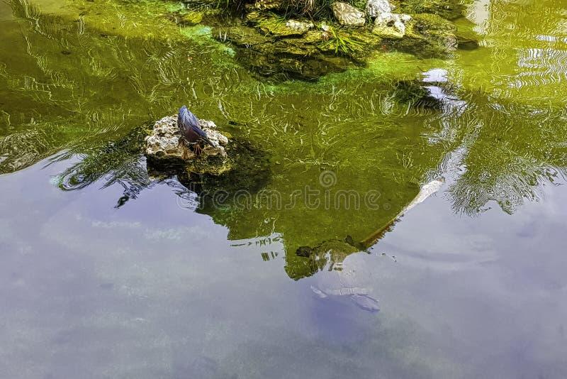 Κυνήγι του πράσινων ερωδιού/Butorides virescens - Peninsula de Zapata National πάρκο στοκ εικόνα με δικαίωμα ελεύθερης χρήσης
