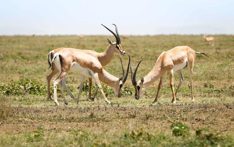 Κυνήγι gazelles στοκ εικόνες με δικαίωμα ελεύθερης χρήσης