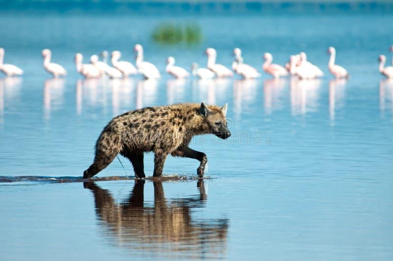 Κυνήγι Hyena Στοκ Εικόνες