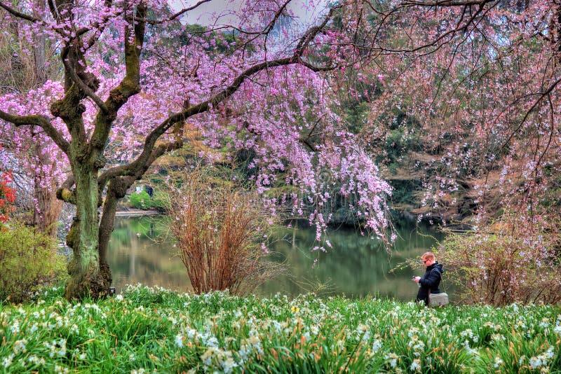 Κυνηγός Sakura στο πάρκο Τόκιο Shinjuku στοκ εικόνες με δικαίωμα ελεύθερης χρήσης