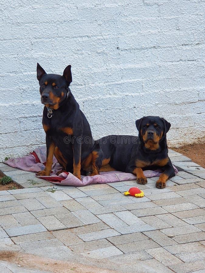 Κυνηγόσκυλα στοκ φωτογραφία με δικαίωμα ελεύθερης χρήσης