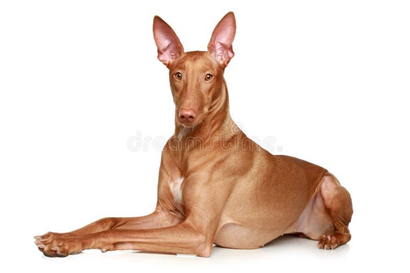 κυνηγόσκυλο σκυλιών pharaoh στοκ φωτογραφία