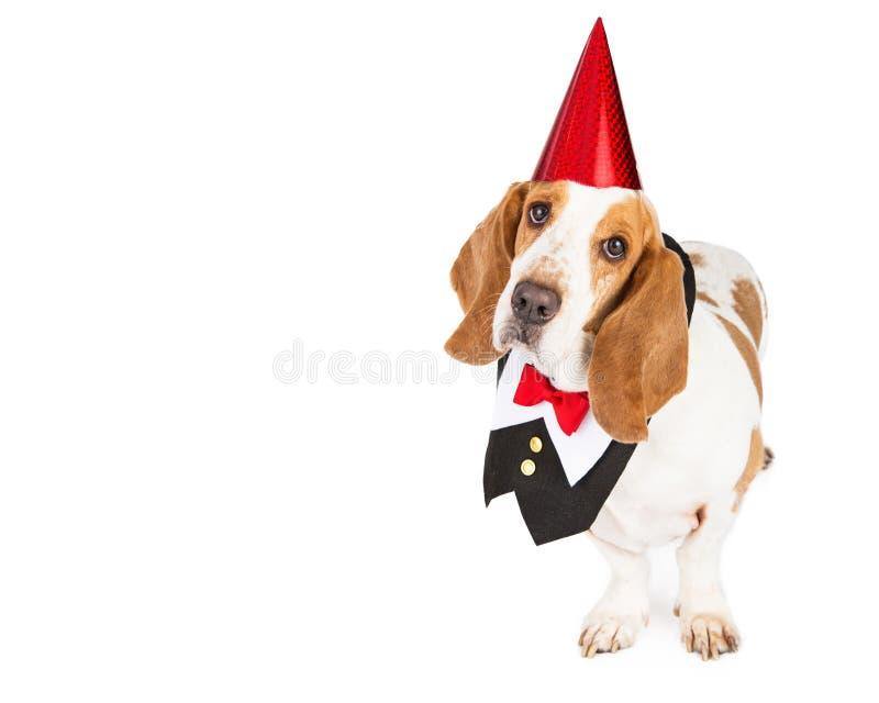 Κυνηγόσκυλο μπασέ κόμματος στη φανέλλα σμόκιν στοκ εικόνες