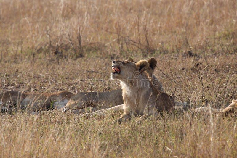 Κυνόδοντας λιονταριών στοκ εικόνα με δικαίωμα ελεύθερης χρήσης