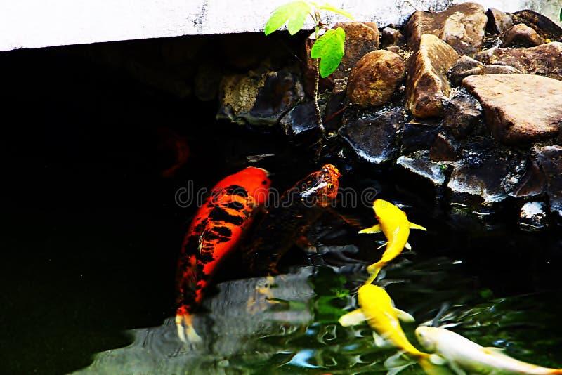 Κυπρίνοι που κολυμπούν παράλληλα με τους βράχους στοκ φωτογραφίες