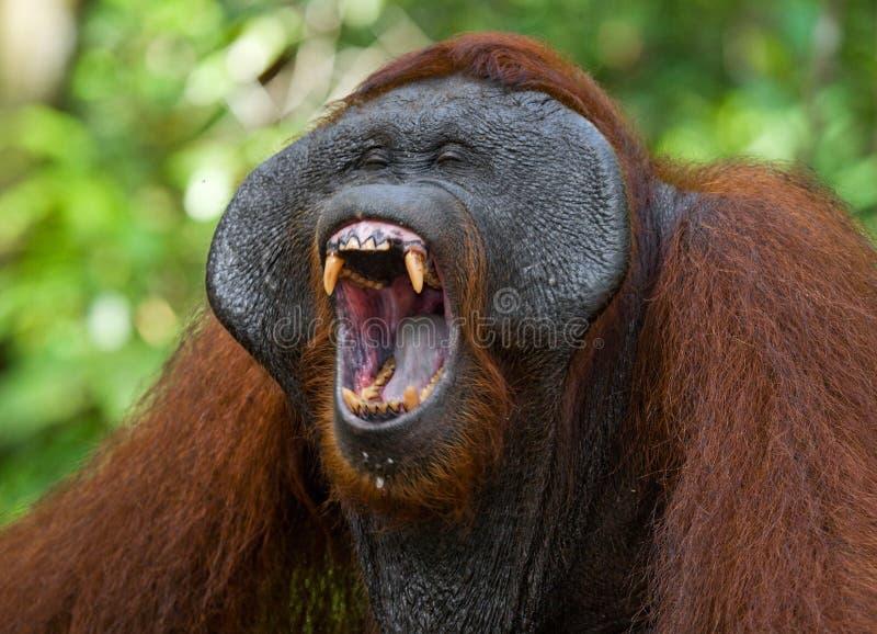 Κυρίαρχα αρσενικά orangutan χασμουρητά Ινδονησία Το νησί Kalimantan & x28 Borneo& x29  στοκ εικόνες με δικαίωμα ελεύθερης χρήσης