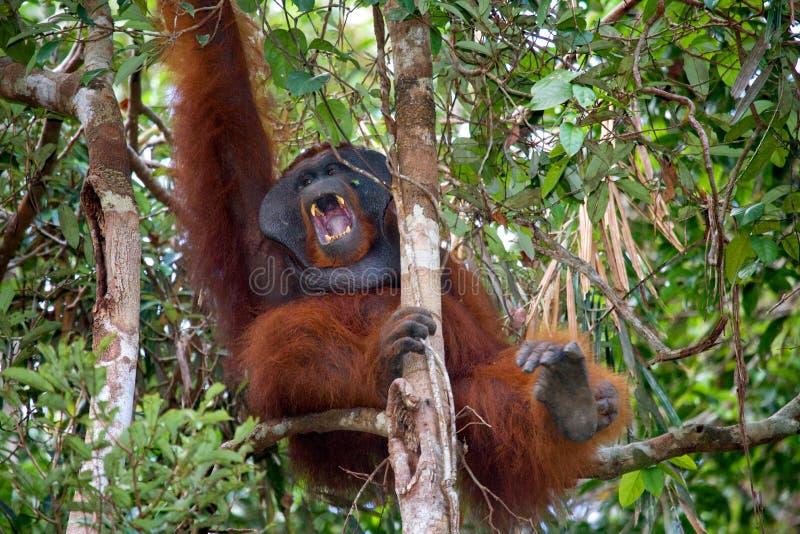 Κυρίαρχα αρσενικά orangutan χασμουρητά Ινδονησία Το νησί Kalimantan & x28 Borneo& x29  στοκ φωτογραφία με δικαίωμα ελεύθερης χρήσης
