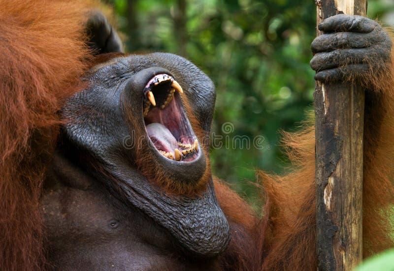 Κυρίαρχα αρσενικά orangutan χασμουρητά Ινδονησία Το νησί Kalimantan & x28 Borneo& x29  στοκ εικόνα με δικαίωμα ελεύθερης χρήσης