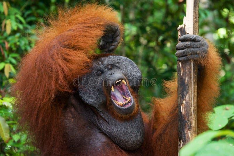 Κυρίαρχα αρσενικά orangutan χασμουρητά Ινδονησία Το νησί Kalimantan & x28 Borneo& x29  στοκ φωτογραφίες με δικαίωμα ελεύθερης χρήσης