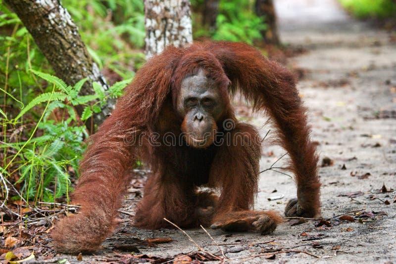 Κυρίαρχη αρσενική orangutan συνεδρίαση στο έδαφος Ινδονησία Το νησί Kalimantan & x28 Borneo& x29  στοκ φωτογραφία