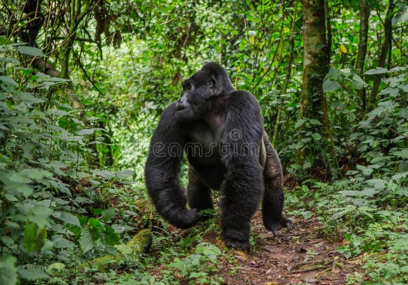 Κυρίαρχος αρσενικός γορίλλας βουνών στο τροπικό δάσος Ουγκάντα Αδιαπέραστο δασικό εθνικό πάρκο Bwindi στοκ εικόνες με δικαίωμα ελεύθερης χρήσης
