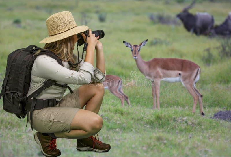 Κυρία στην ενδυμασία σαφάρι που παίρνει τις φωτογραφίες της αφρικανικής άγριας φύσης στοκ εικόνες