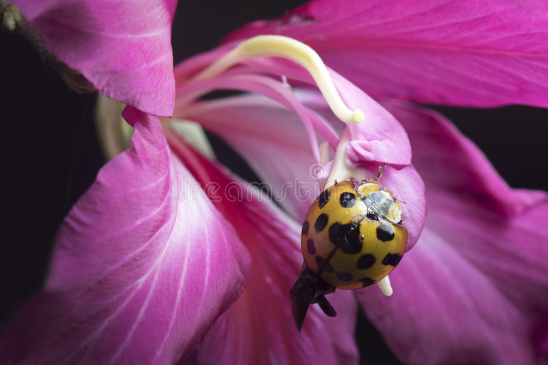 Κυρία Beetle στην Ταϊλάνδη και τη Νοτιοανατολική Ασία στοκ εικόνες με δικαίωμα ελεύθερης χρήσης