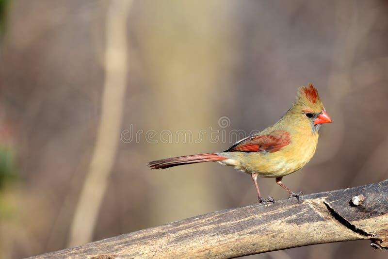 Κυρία Cardinal στοκ εικόνες με δικαίωμα ελεύθερης χρήσης