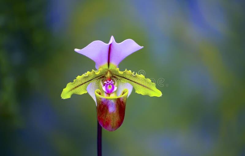 Κυρία Slipper Orchid στοκ φωτογραφίες