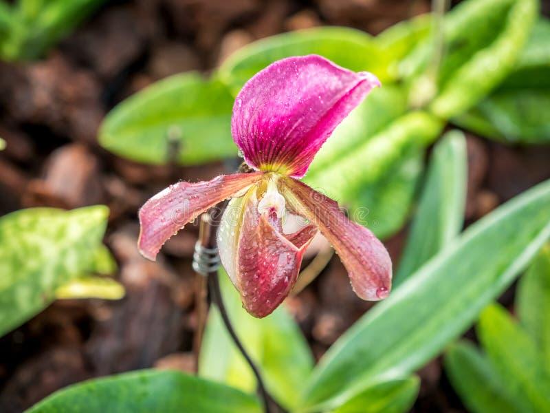 Κυρία Slipper Orchid Paphiopedilum στοκ φωτογραφία