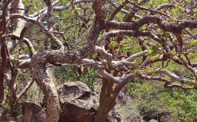 Κυρτοί κλάδοι δέντρων στοκ εικόνες