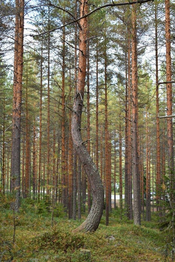 Κυρτός κορμός δέντρων πεύκων στοκ φωτογραφία με δικαίωμα ελεύθερης χρήσης