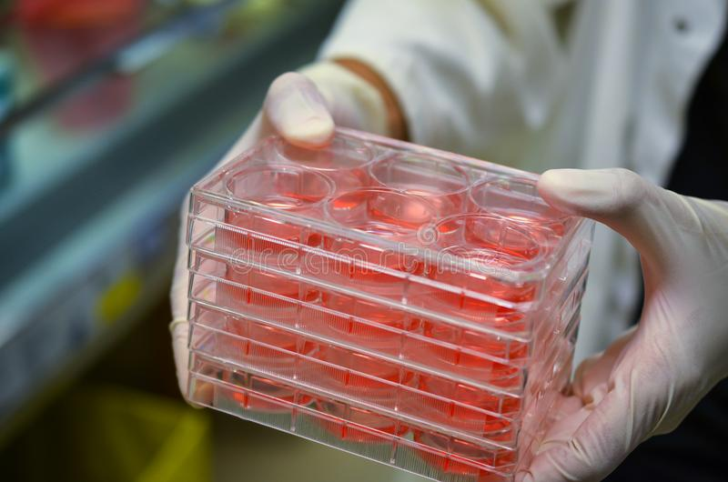 Κυτταροκαλλιέργειες που κατέχει ο εργαστηριακός τεχνικός στοκ εικόνες