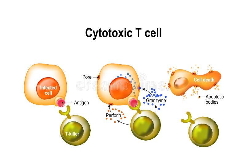 Κυτταροτοξικός με κύτταρο Τ διανυσματική απεικόνιση