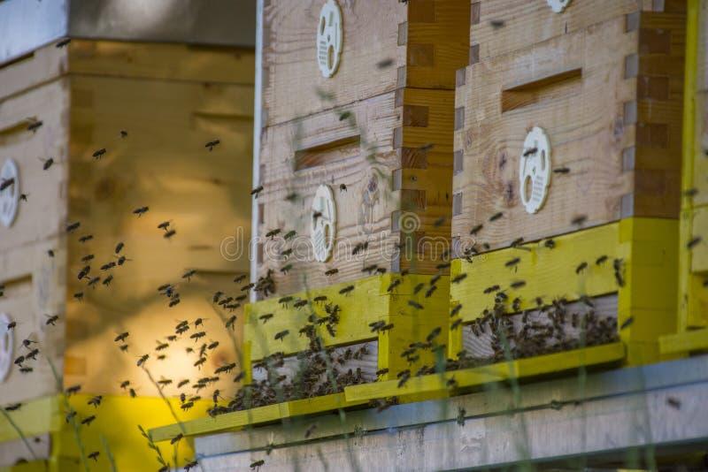 Κυψέλες μελισσών - mellifera Apis αναπαραγωγής μελισσών στοκ φωτογραφία