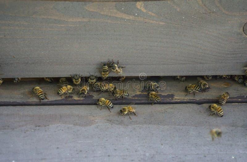 Κυψέλες στο μελισσουργείο Μύγα μελισσών στην κυψέλη Οι μέλισσες προστατεύουν την κυψέλη στοκ εικόνες με δικαίωμα ελεύθερης χρήσης