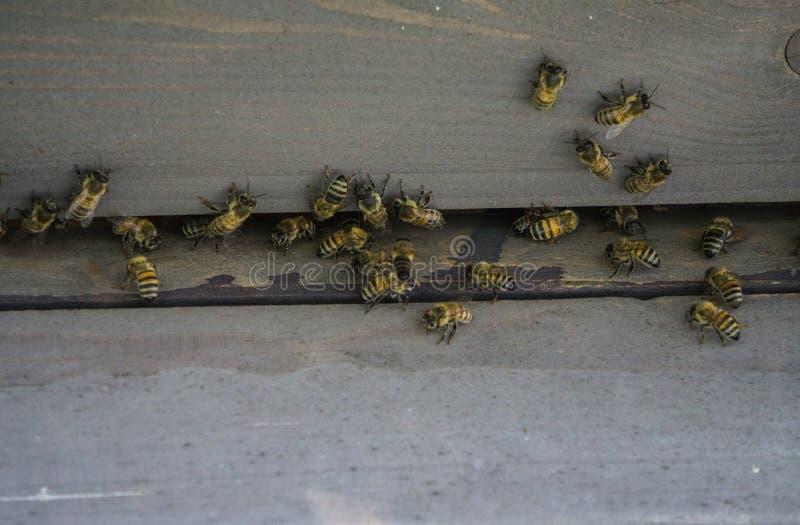 Κυψέλες στο μελισσουργείο Μύγα μελισσών στην κυψέλη Οι μέλισσες προστατεύουν την κυψέλη στοκ φωτογραφίες